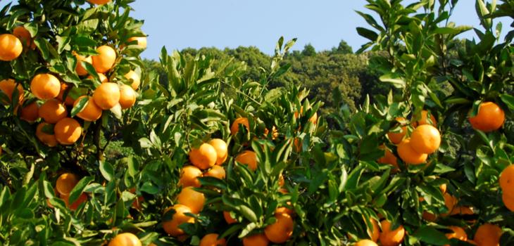 もっこす蜜柑を育てる風景