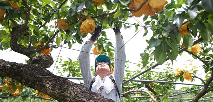 もんく梨を育てる風景